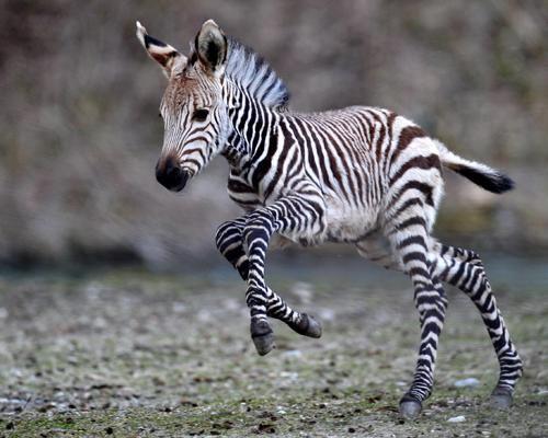 Baby zebra. Source: pinterest