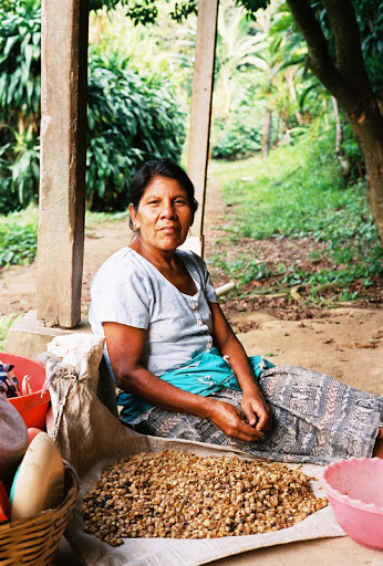 V Peru a Guatemale domorodci sází strom mlékovec obecný