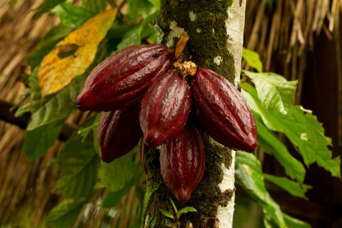 cocoa_beans1_500