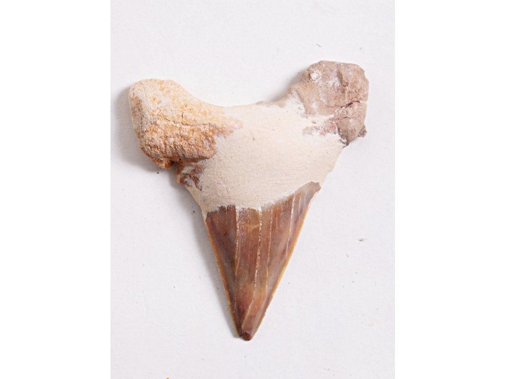 Fosilie žraločí zub velký 6 cm #55