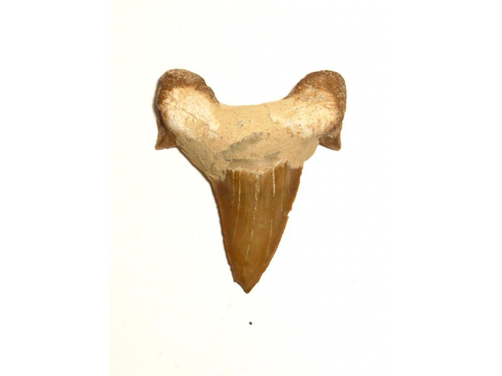 Fosilie žraločí zub velký #17
