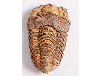 Fosílie Trilobit Calymene Flexicalymene 80 mm #09