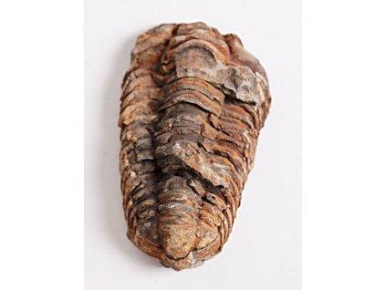 Fosílie Trilobit Calymene Flexicalymene 80 mm #11