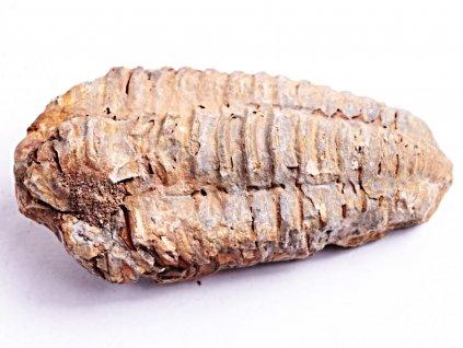 Fosilie Trilobit Calymene Flexicalymene 80 mm #38