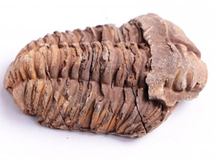 Fosilie Trilobit Calymene Flexicalymene 90 mm #54