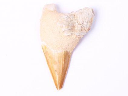 Fosilie žraločí zub velký 7.5 cm #102  + sleva 5% po registraci na většinu zboží + dárek k objednávce