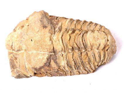 Fosilie Trilobit Calymene Flexicalymene 70 mm #70  + sleva 5% po registraci na většinu zboží + dárek k objednávce
