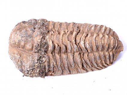 Fosilie Trilobit Calymene Flexicalymene 80 mm #104  + sleva 5% po registraci na většinu zboží + dárek k objednávce