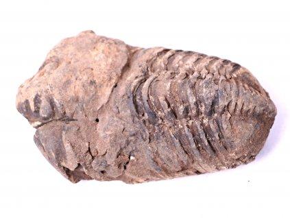 Fosilie Trilobit Calymene Flexicalymene 90 mm #106  + sleva 5% po registraci na většinu zboží + dárek k objednávce