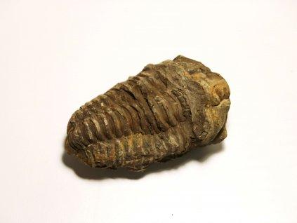 Fosílie Trilobit Calymene Flexicalymene #1