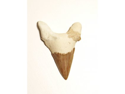 Fosilie žraločí zub velký #26