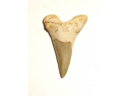 Fosilie žraločí zub velký #27