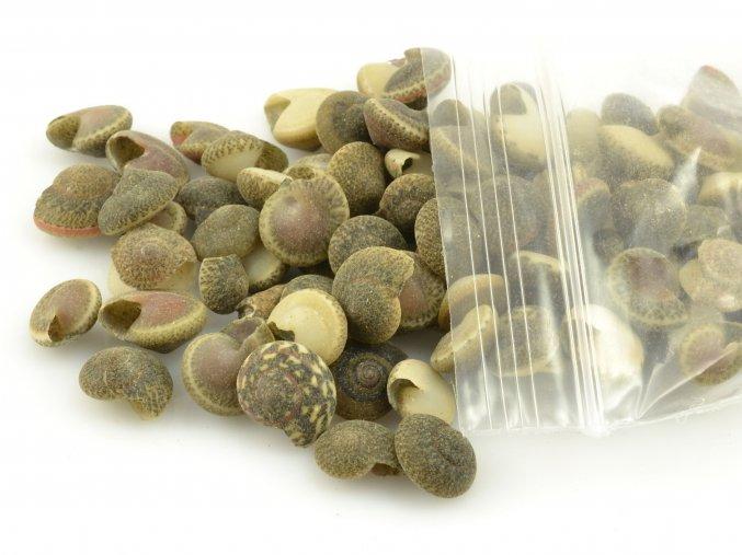 Umbonium shells (50g)