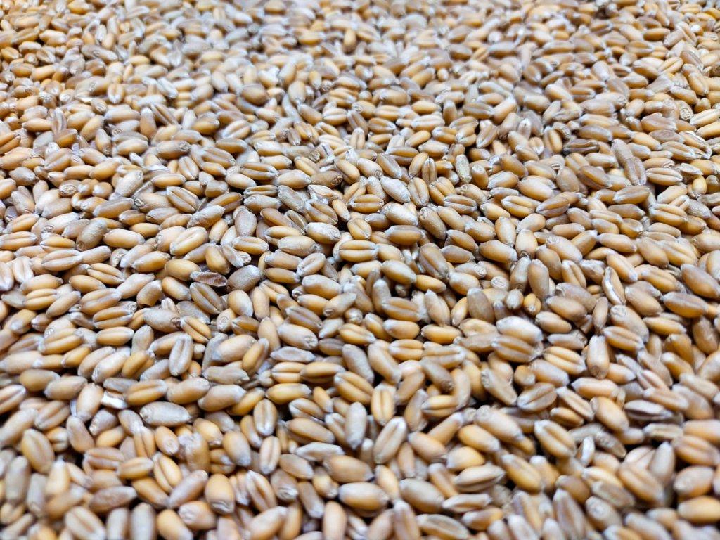 pšenice microgreens
