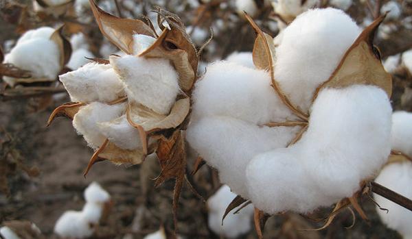 bio-bavlna