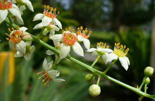 boswellia-prirodni-lek