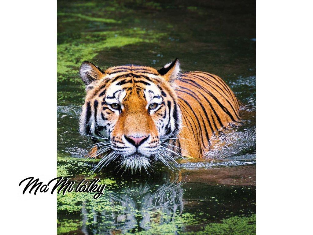 tygr plave