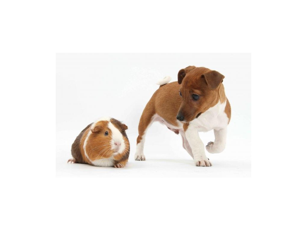 MPS01 Terrier pup and guinea pig