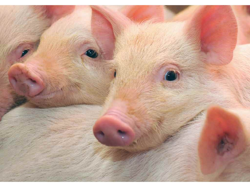 MPF02 BABY PIGS