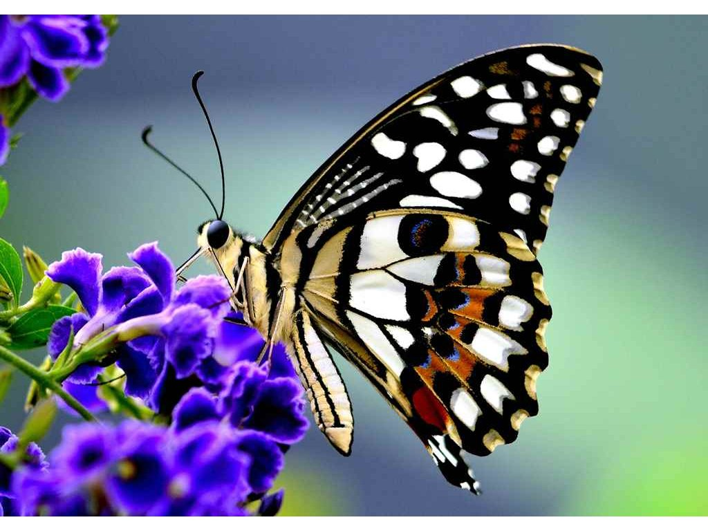 MPF18 BUTTERFLY