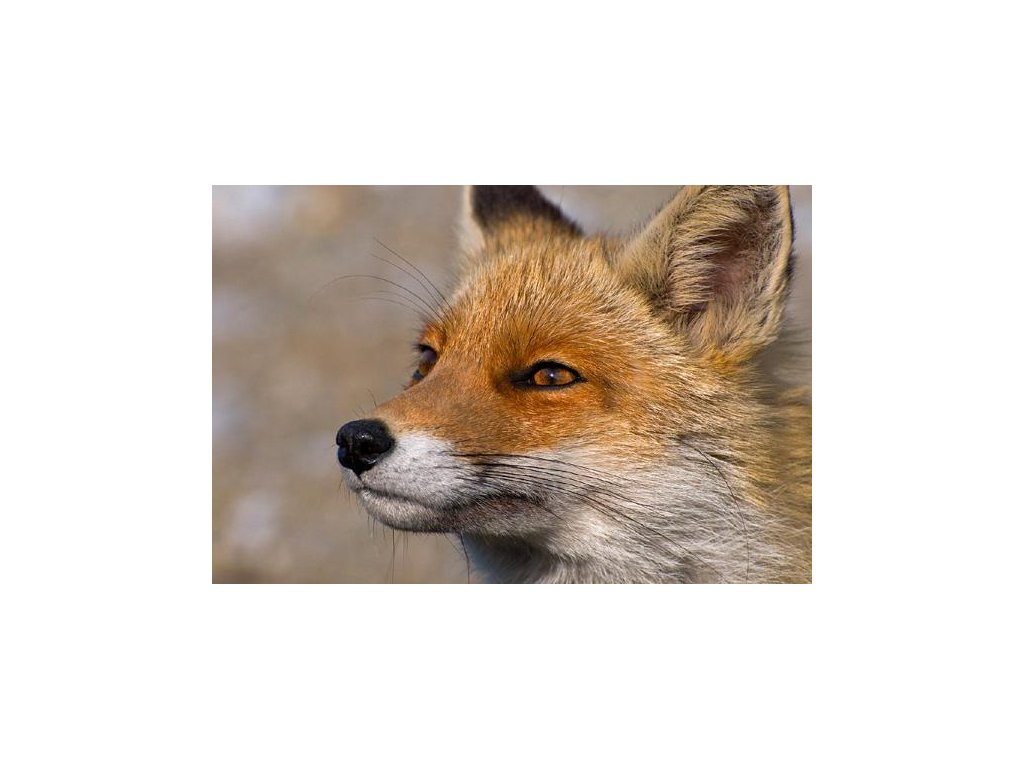 MCW08 Red Fox