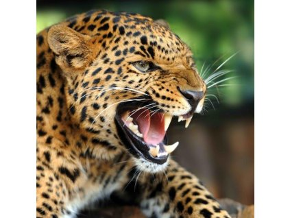 MAF13 ANGRY LEOPARD