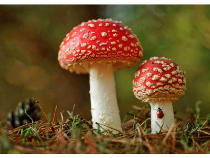 MCH12 FLY AGARIC