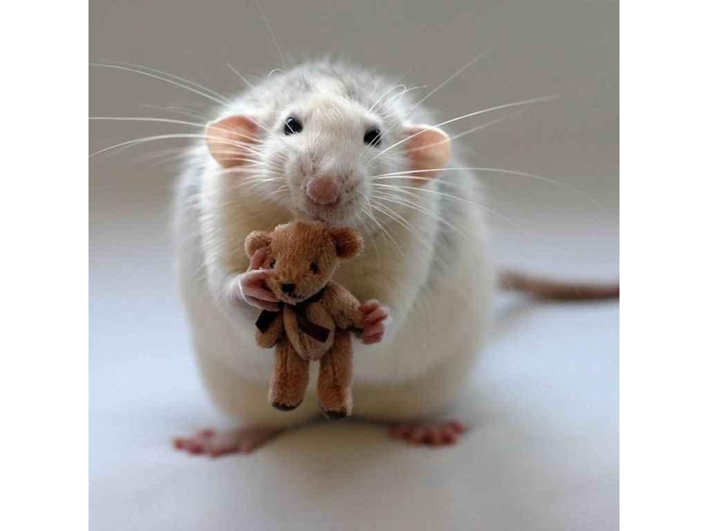 MCG17 RAT