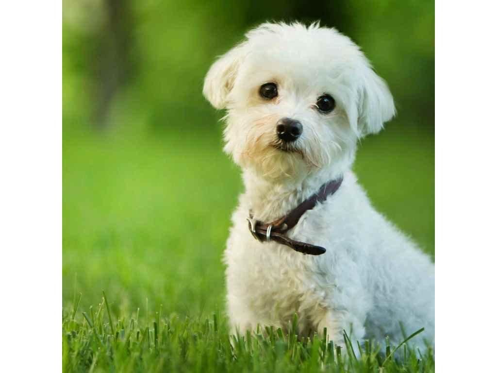 MCG46 MALTESE DOG