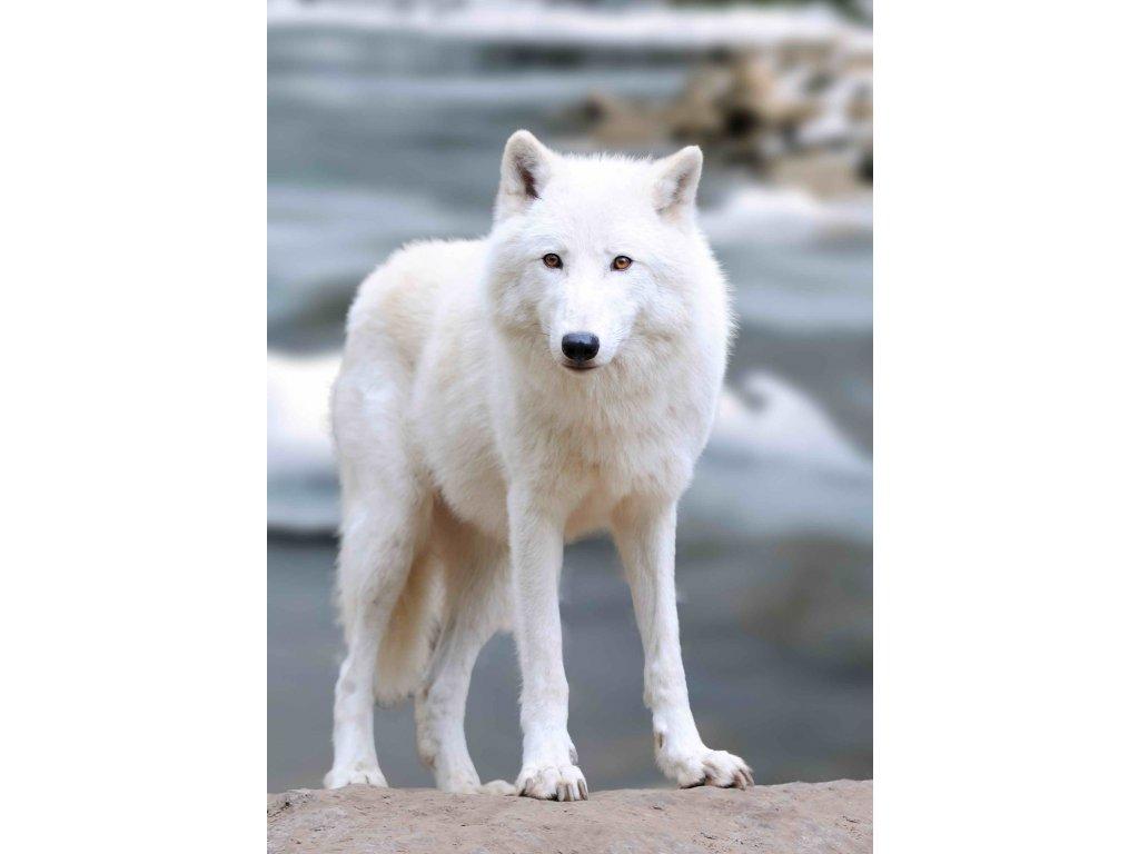 MCZ62 ARCTIC WOLF