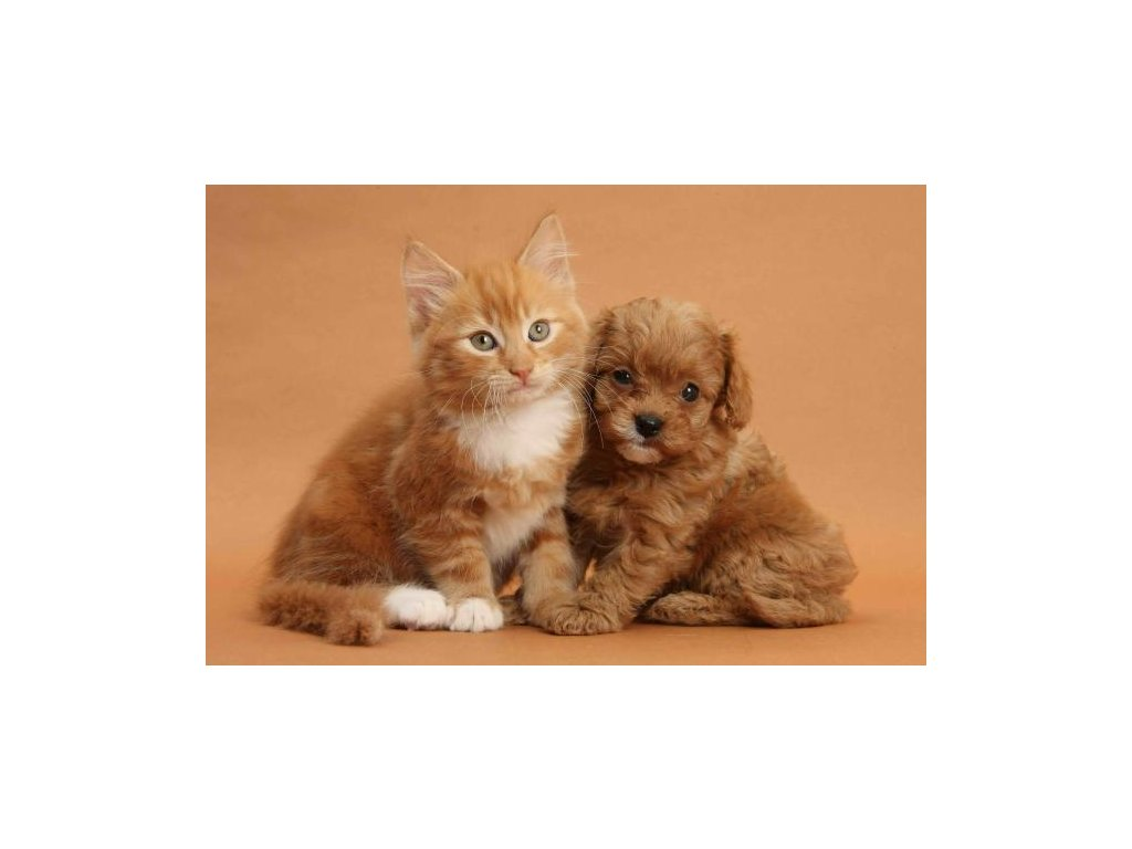MPS02 Cavapoo pup and kitten