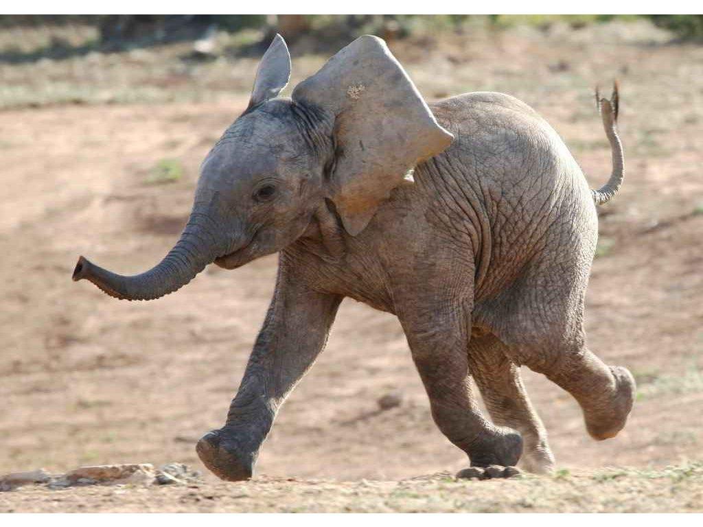 MAF01 BABY ELEPHANT w