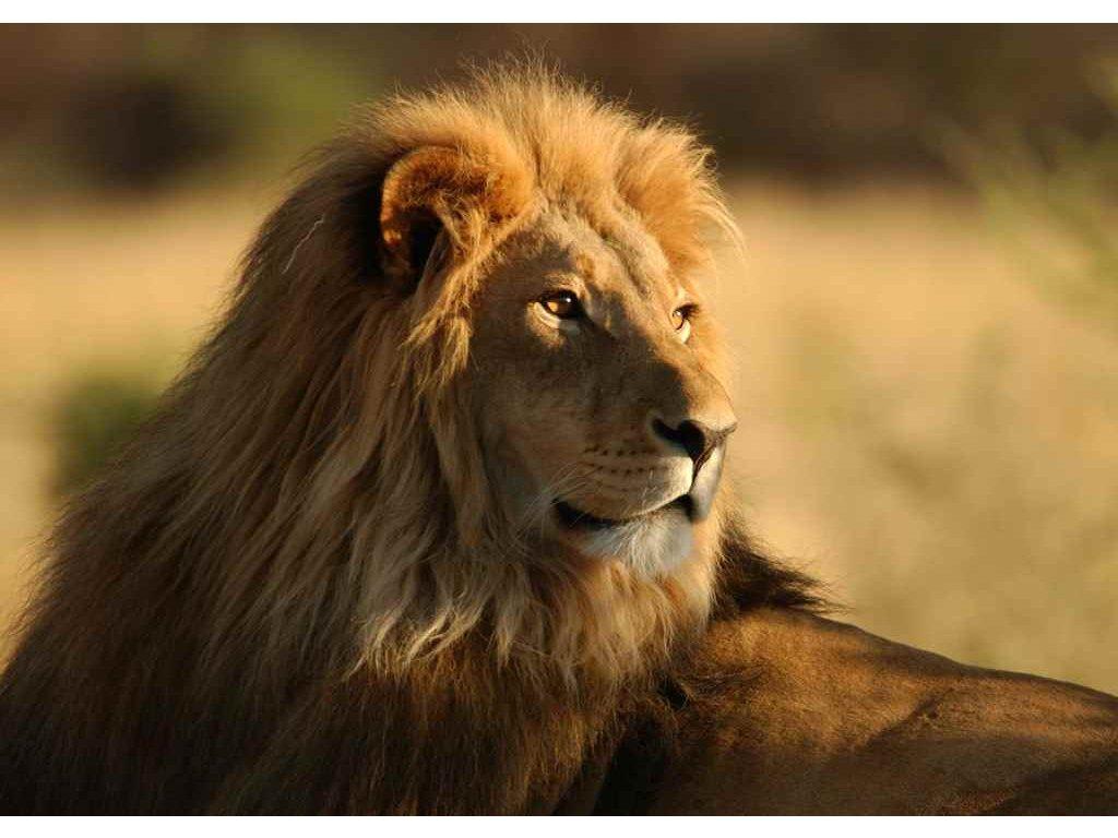 MAF06 LIONw