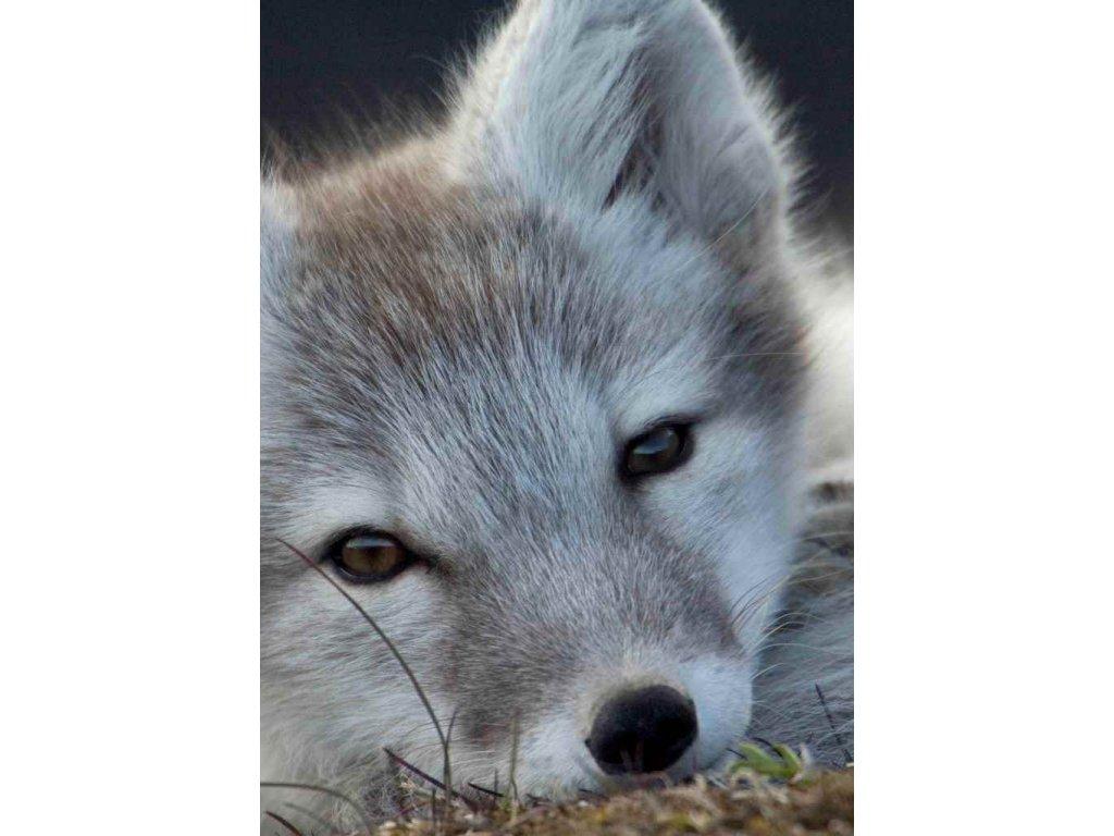 MCW14 ARCTIC FOX SVALBARD