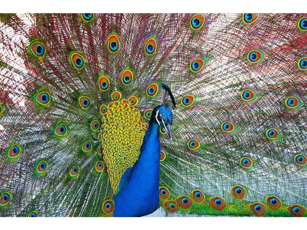 MCZ19 INDIAN PEAFOWL
