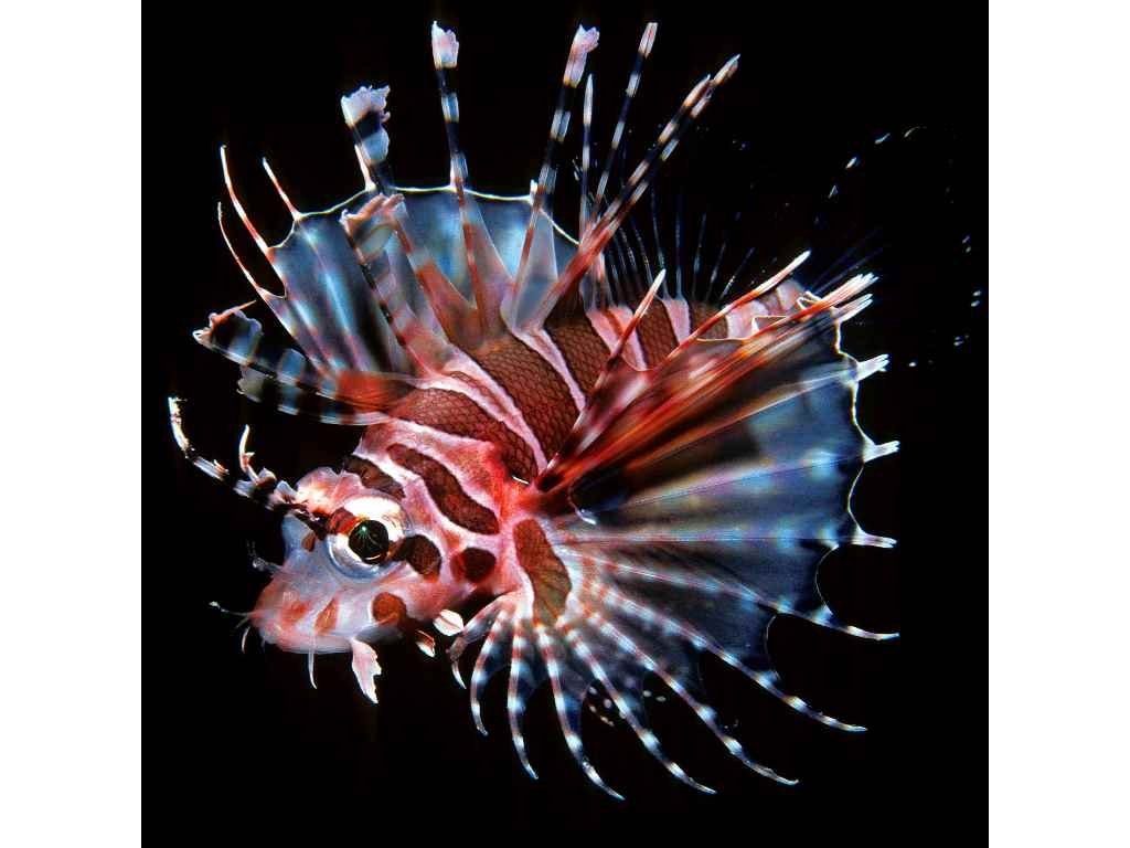 MCA34 ZEBRA LIONFISH
