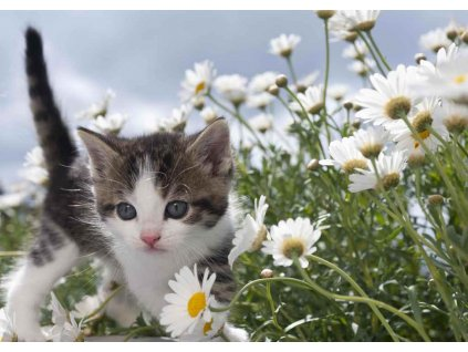 MPS19 FLOWER KITTEN