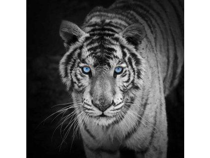 MCZ35 WHITE TIGER