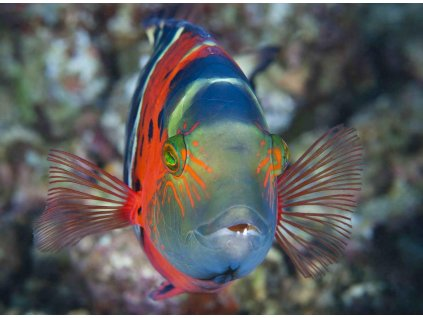 MCA07 FLASHER WRASSE