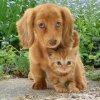 GINGER CAT & DOG
