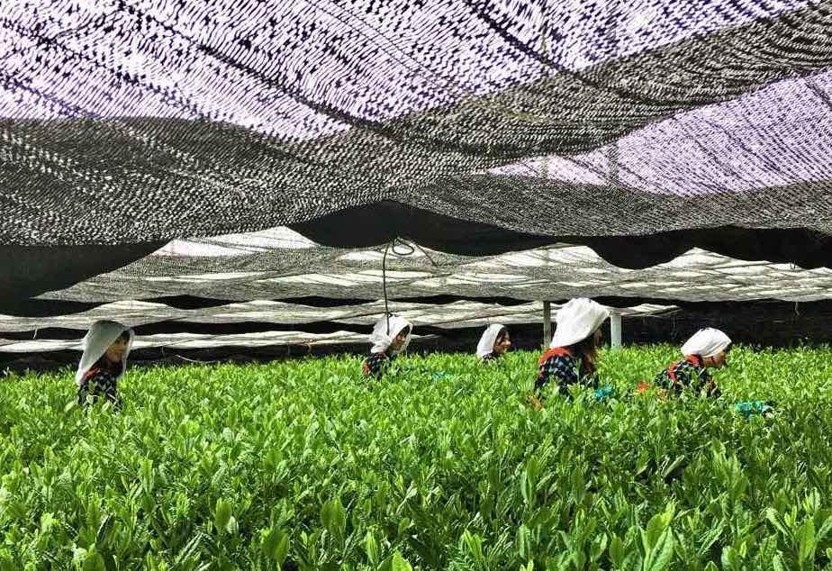 matcha-tea-cajova-plantaz_1