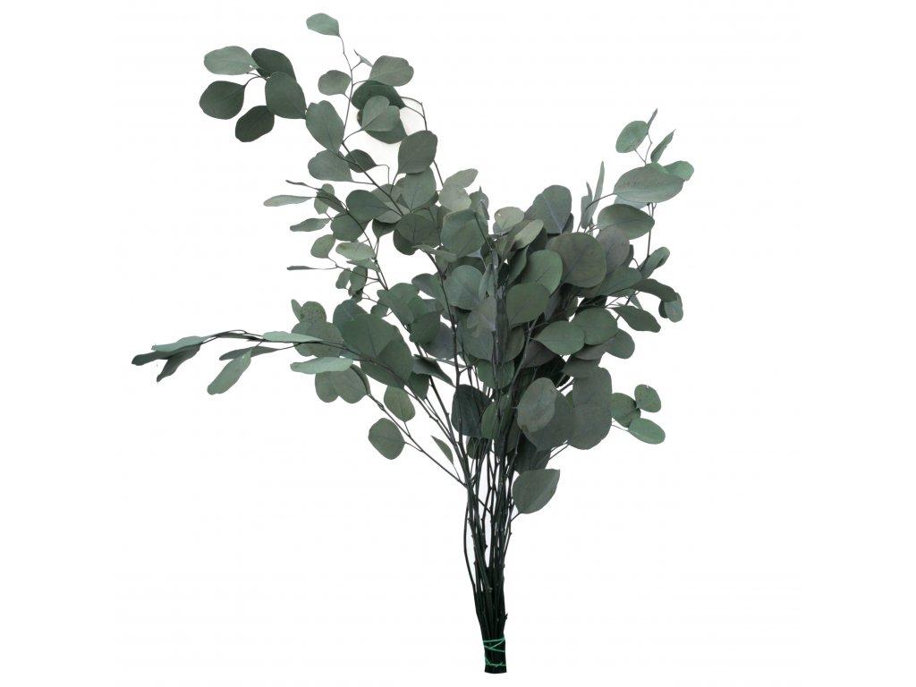 Eukaliptus Populus