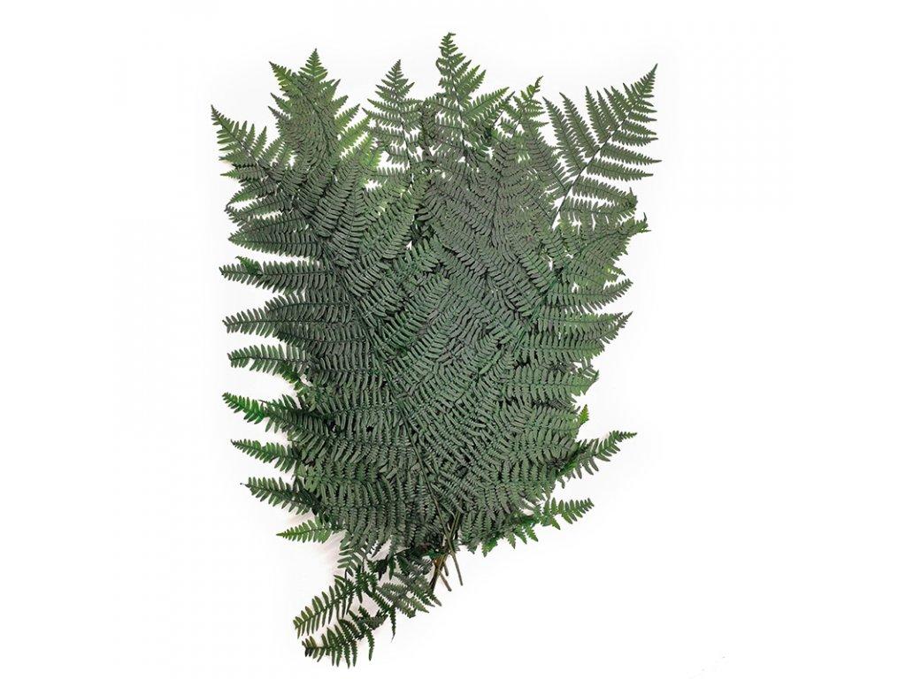Paproc stabilizowana Wietlica samicza (Lady fern)