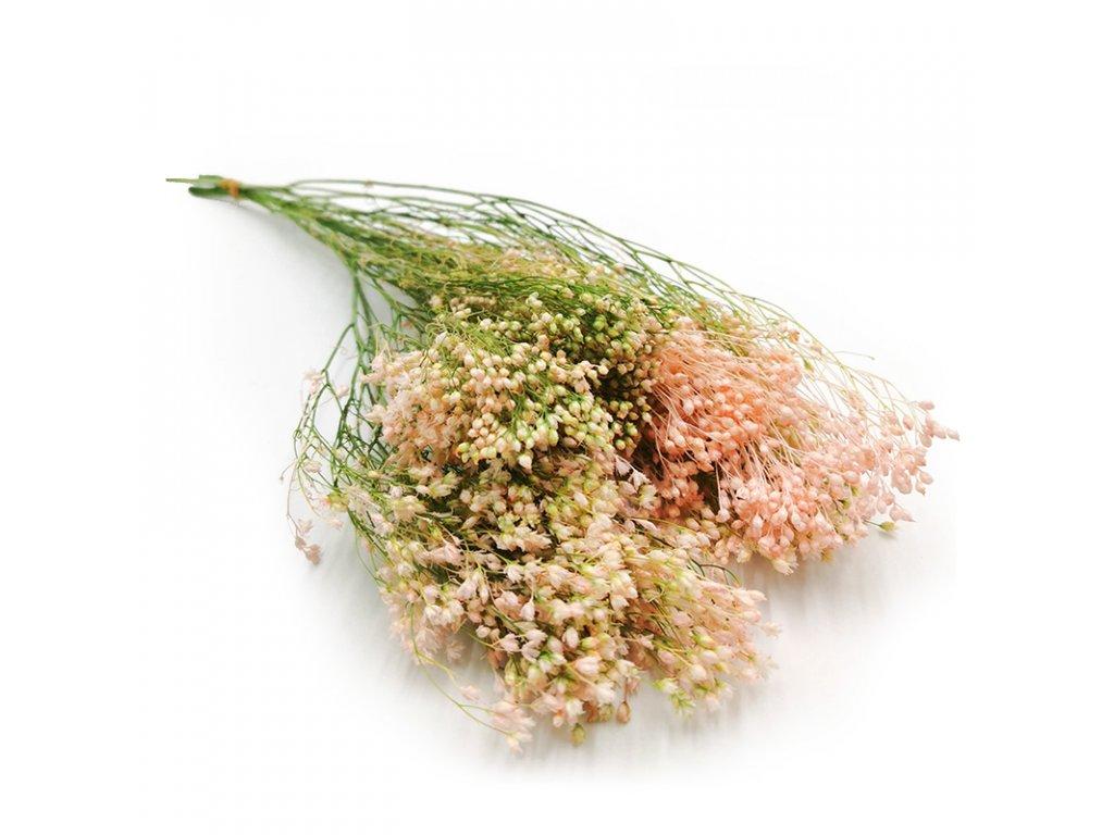 Żarnowiec różowy kwiat stabilizowany broom bloom 1