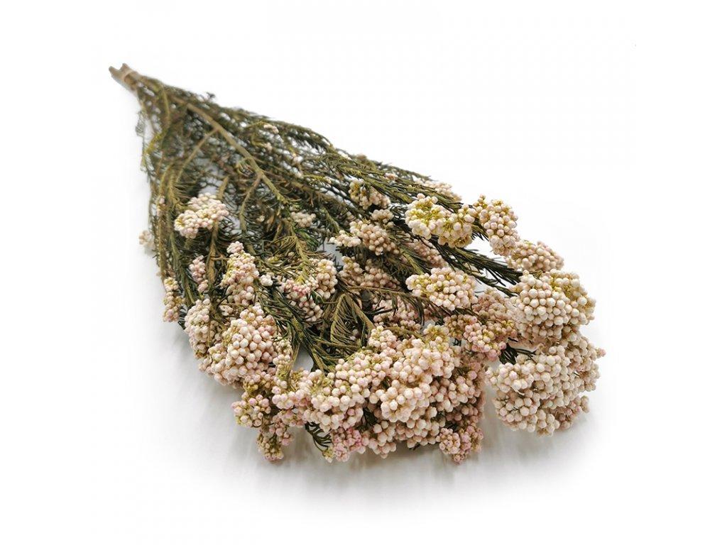 Stabilizowany kwiat Diosmi Ozothamnus biało rozowy 4