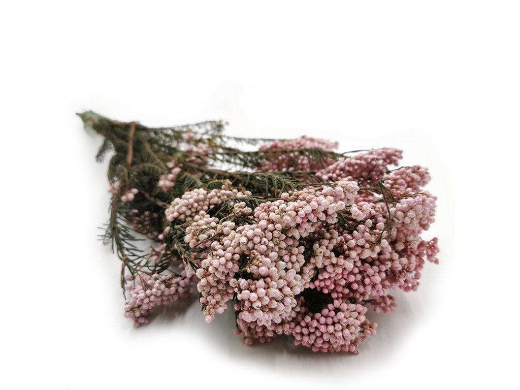 Soszony kwiat Diosmi Ozothamnus rozowy 4
