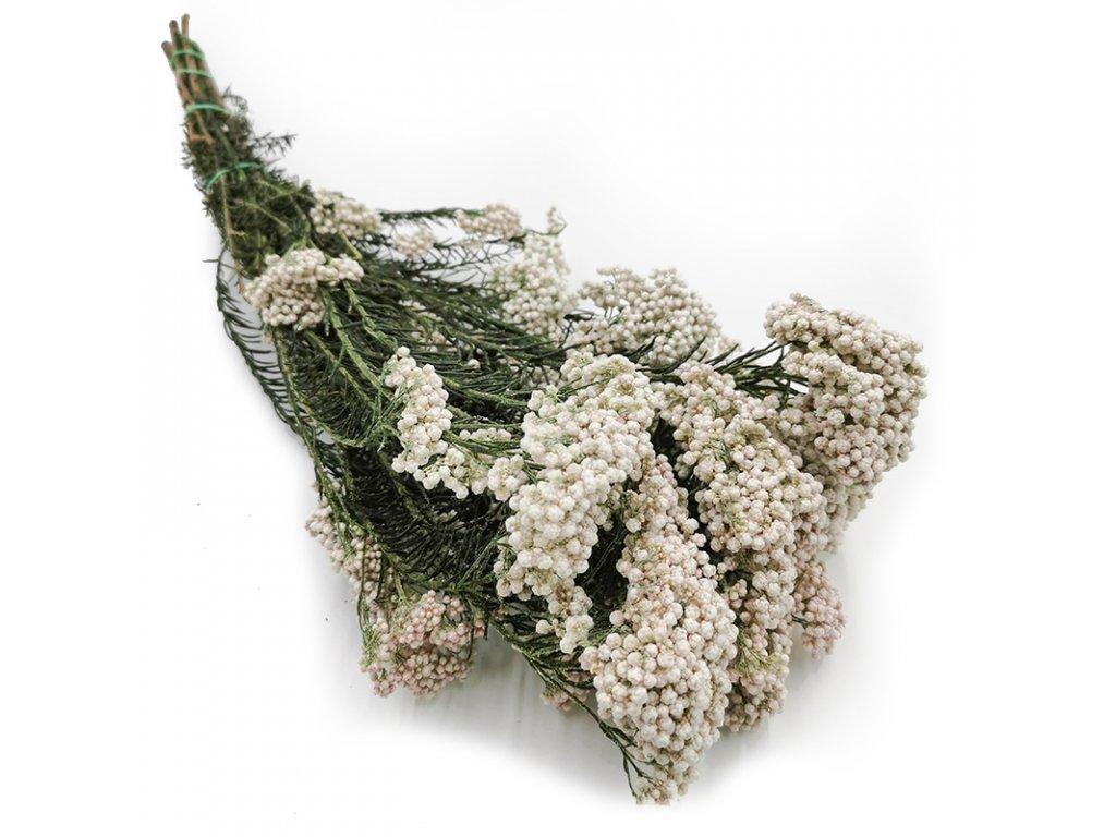 Kwiat suszony Ozothamnus Diosmi biały 1