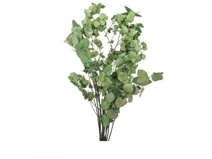 Eukaliptus Stuartiana Zielony
