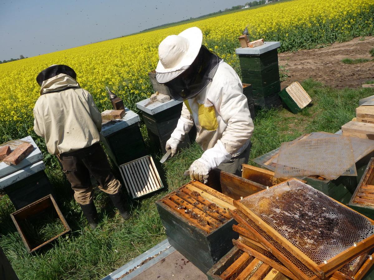 Včely- řepka, tvorba oddělků