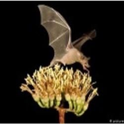 Netopier: Tajomstvo lietajúceho cicavca - opeľovača